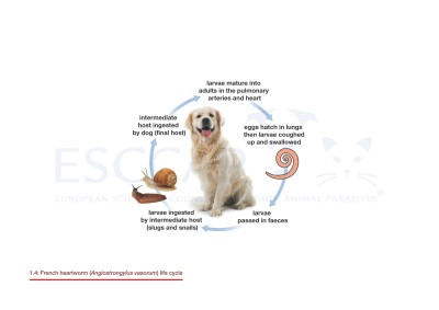 1.4 French heartworm (Angiostrongylus vasorum) life cycle