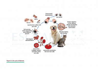 GL5 Fig 8: Life cycle of Babesia