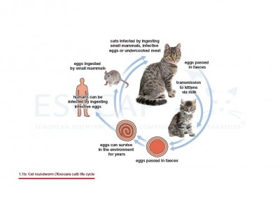 1.1b Cat roundworm (Toxocara cati) life cycle