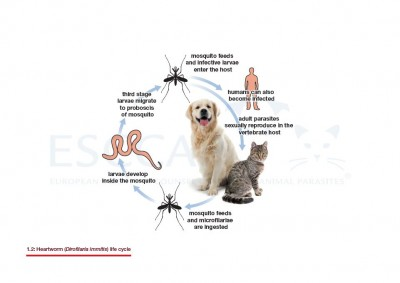 1.2 Heartworm (Dirofilaria immitis) life cycle