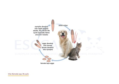 3.5a Demodex spp. life cycle
